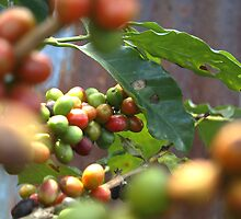 Coffee ready for harvest take 2 by Guy Tschiderer