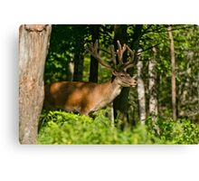 Young Bull Red Deer Canvas Print