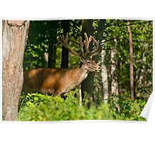 Young Bull Red Deer Poster