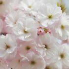 In full bloom... by Denitsa Dabizheva