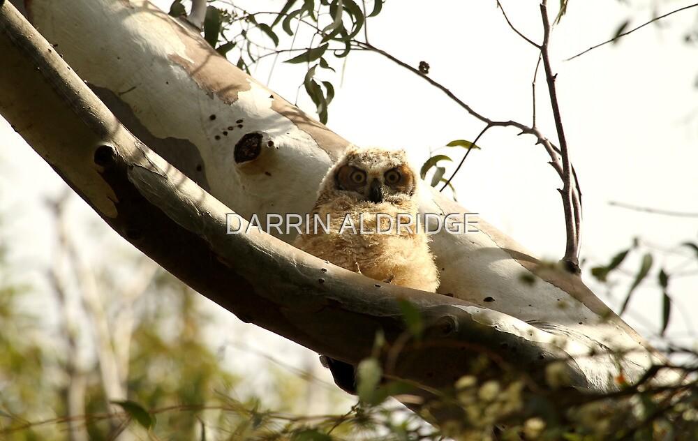Cute Furry Baby Owl by DARRIN ALDRIDGE