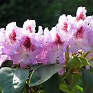 Rhododendron by Robert  Miner
