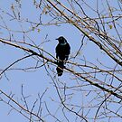 Commom Grackle -  Quiscalus quiscula by Tracy Faught