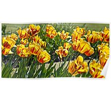 Lyme Park Tulips Poster