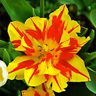 Tulip Spectacular by Penny Smith
