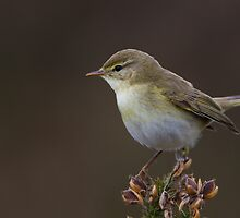 Willow Warbler by Neil Bygrave (NATURELENS)