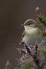 Willow Warbler by Neil Bygrave (NATURELENS)