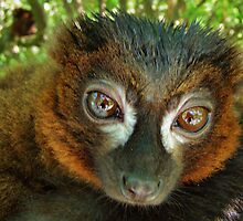 RED-BELLIED LEMUR (Eulemur rubriventer)  by Johan  Nijenhuis
