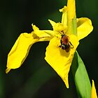 Yellow Iris gets a visit by Javimage