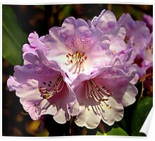 Rhododendron. Poster