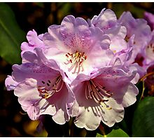 Rhododendron. Photographic Print