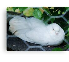 Skagit Valley white Dove Canvas Print