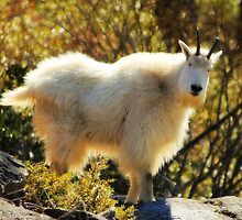 My first Mountain Goat  by Debbie Roelle