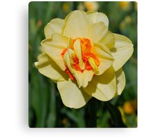 Daffodil Shimmers Canvas Print