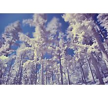 Coniferous Trees in Infra Red Photographic Print