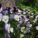 A Splash of Pansies by shimschoot