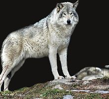 ...the Grey Wolf... by John44
