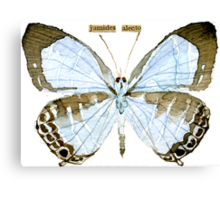 Metallic Cerulean Butterfly [Jamides alecto] Canvas Print