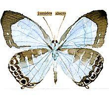 Metallic Cerulean Butterfly [Jamides alecto] Photographic Print