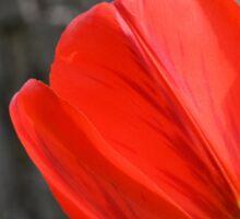 Varigated Red Tulip Petals Sticker