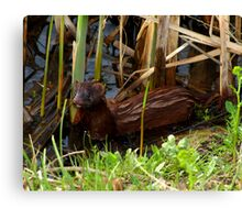 Mink in the Marsh (American Mink) Canvas Print