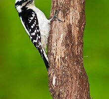 Downy Woodpecker Female by Michael Mill