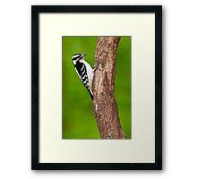Downy Woodpecker Female Framed Print