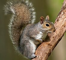 Eastern Gray Squirrel by Michael Mill