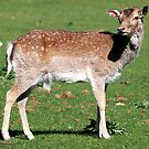 Fallow Deer, Calke Park by Luci Mahon