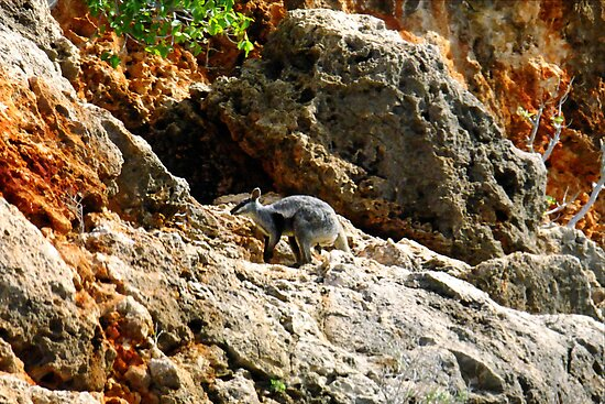 Black Footed Rock Wallaby ~ Yardie Creek ~ WA by Julia Harwood