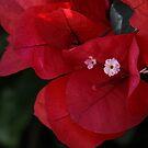 Bougainvillea in Bloom by Heather Friedman