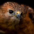 Red-shouldered Hawk by Jeff Weymier