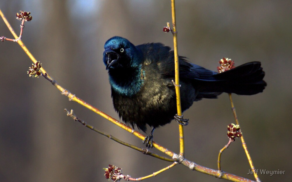 Grackle Cackle by Jeff Weymier