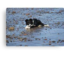 Border Collie enjoying herself on pebbly beach Canvas Print