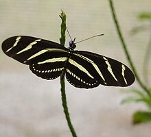 Zebra Longwing Butterfly by BLemley