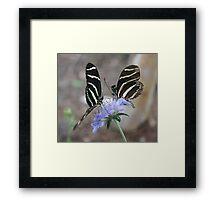 Zebra Longwing Butterflies... Framed Print