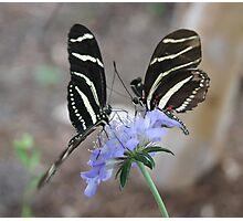 Zebra Longwing Butterflies... Photographic Print