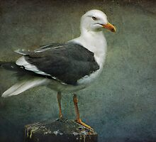 Black Backed Gull by Tarrby