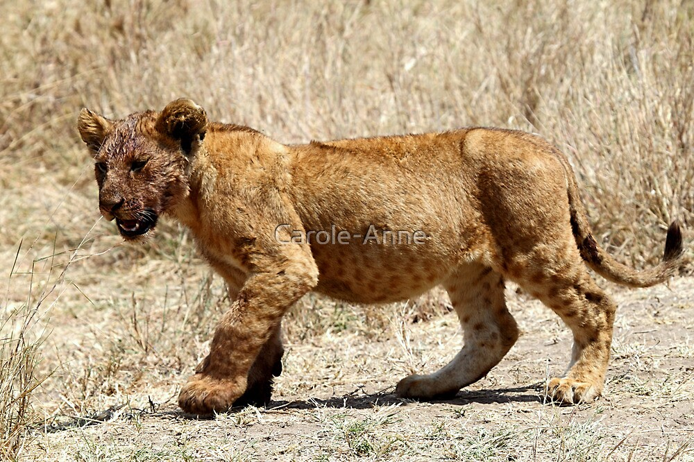 African Lion Cub After Feeding, Serengeti, Tanzania  by Carole-Anne