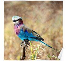 Lilac Breasted Roller, Serengeti, Tanzania  Poster