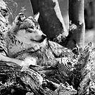 wolf by neil harrison