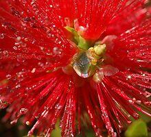 bottle brush flower by Les Pink