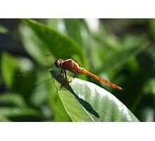 Dragonfly on Gardenia Photographic Print