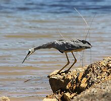 Hungry Heron by dilouise