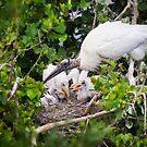 Wood Stork Nest by Kathy Cline