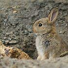 Baby Rabbit by Nigel Tinlin