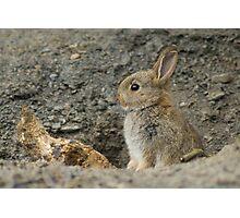 Baby Rabbit Photographic Print