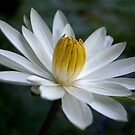 White Radial Bloom by Kerryn Madsen-Pietsch