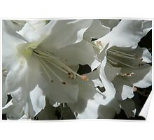 Rhododendron delight Poster