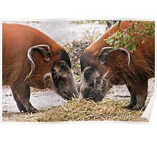 Red River Hog Poster
